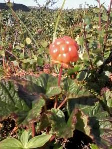 Multebær
